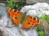 aglais urticae, butterfly