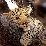 Sleepy Leopard...