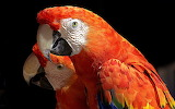 A pair of Macaw