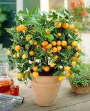 1b7e56f325b51455553246-Clementine Tree 450 MAIN
