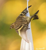 Pine Siskin with fall colors, by Bruce Wunderlich