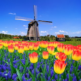 Holland Tulpenblu~Platzl Reisen 4513 × 4513