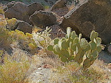 Eastern Prickly Pear 2