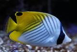 Angel fish angelfish colorful