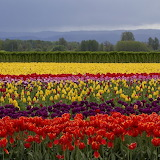 ☺ Blooming tulip fields...