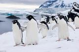 Шествие пингвинов