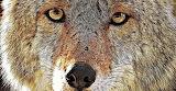 Beautiful Coyote Face
