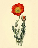 Vintage Poppy & Offspring