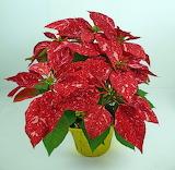 ^ Poinsettia - Jingle Bell Rock