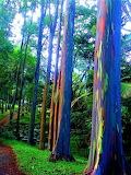 Rainbow Forest Of Eucalyptus, Philippines