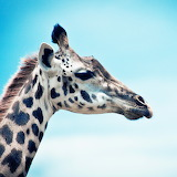 *Giraffe Photo...