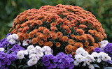 Orange blue and purple mums
