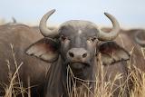 Cape Buffalo~Masai Mara, Kenya