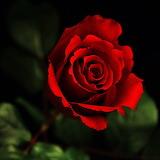 ~Red Rose~