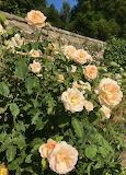 The Churchill Rose
