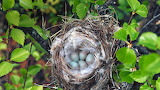 Arctic Redpoll Nest and Eggs
