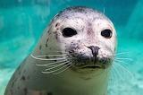 150 Foca - Seal