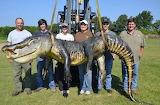 727-lb American Alligator