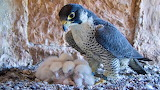 Falcon with babies