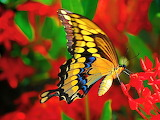 Butterfly on Red Flowers...