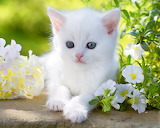 Kitty with blue eyes
