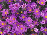 Leafy Asters
