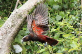 kaka bird