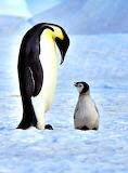 * Emperor Penguins, Antarctica...