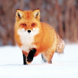 *Sweet Face Foxy Fox! ...