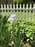 Iris - Tennessee State Flower