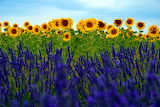 LavenderAndSunflowerFields