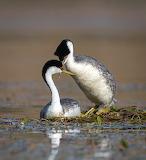 Birds - Grebes
