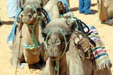 camels in Tunisia