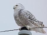 A Lovely Snowy Owl © 2012 Anne K. Elliott