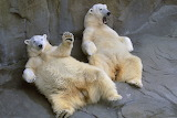 Funny polar bears begging for food (preferably fish) from Micros
