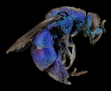 Cuckoo-wasp-macro-mounted-metallic-blue-103658