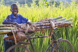 African boy transporting sugar canes