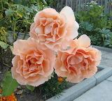"Rose ""Apricot Brandy"""