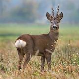 WM Deer 7