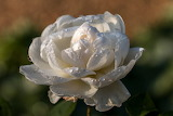 Flowers - white Rose