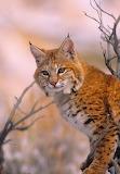 South Dakota Big Cat