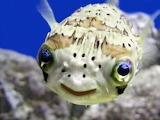 SmilingPufferfish