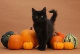 137267-Black-Maine-Coon-kitten-and-pumpkins