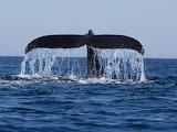 Nageoire caudale d'une baleine à bosse