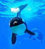 Orca Whale...