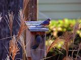 Eastern Bluebirds winter home
