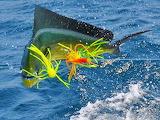 Mahi-mahi fishing