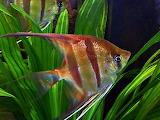 Angel fish ornamental fish