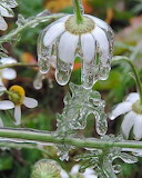 Flores heladas