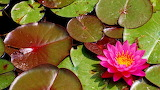 #Water Lily